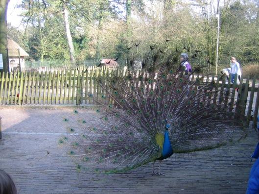 Pauw in vol ornaat bij de kinderboerderij van Groenendaal, 17-3-2015