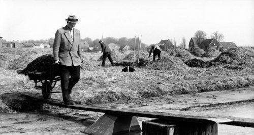 Bloembollenkwekers zijn bezig met het weghalen van stro waarop bollenvelden in Bennebroek zijn afgedekt (foto Van Gelderen, 2 maart 1963)