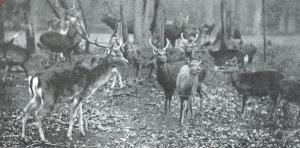 Bosbeek met damherten ten tijde van de familie Van Merlen-Visser van Hazerswoude (1913)