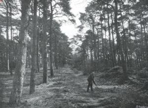 Dennenlaan op Bosbeek in 1913 (foto C.Steenbergh)