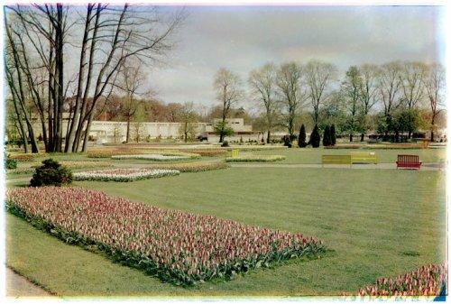 Flora 1953 Groenendaal met decoratieve bloembedden van tulpen (foto Leendert Blok)