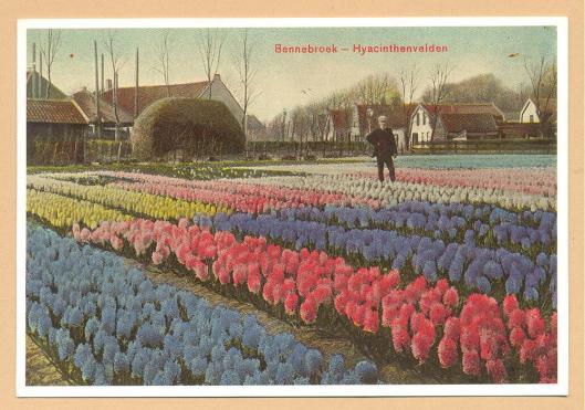 Hyacinthenvelden aan de Meerweg in Bennebroek. Ansichtkaart uit 1907