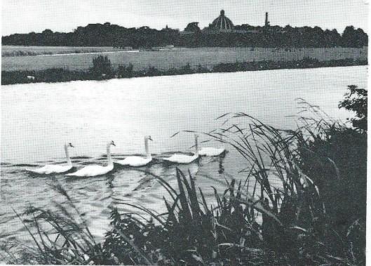 Vijf zwanen in het Heemsteeds Kanaal met de koepel van Hageveld op de achtergrond.