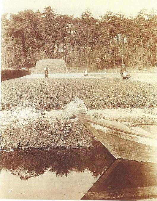 Het bloembollenterrein van de firma C.G.van Tubergen Jr. aan de Manpadslaan in Heemstede