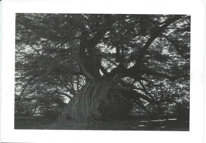 Vleugelnootboom Leyduin (foto Freek Baars, 1989, voor Sichting Ons Bloemendaal).