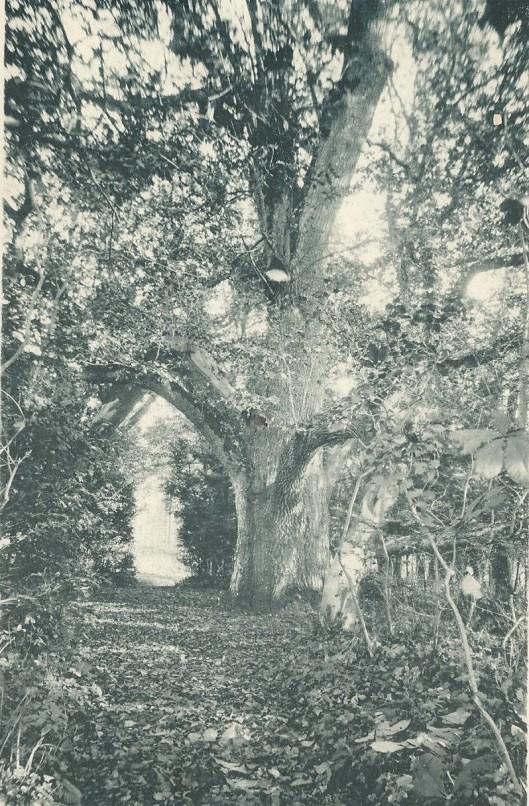 De 'Moederboom' op de Hartekamp omstreeks 1900 welke nog door hortulanus Linnaeus zou zijn geplant in 1737.
