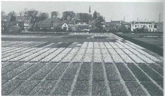 Op de terreinen tussen Kerklaan en Van Merlenlaan met nu woningbouw laten voor de jaren zestig de bloembollenvelden van Jac. B.Roozen en P.Nelis & Zoon. Het torentje op de achtergrond was van het St. Antoniusklooster