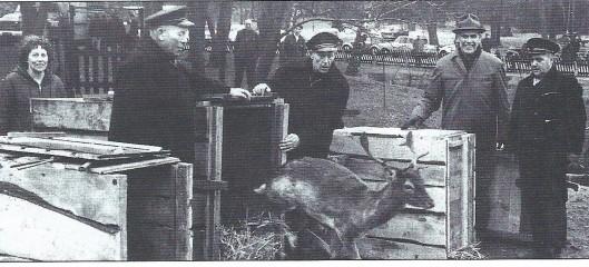 Maarten van Iperen, opzichter van de hertenkamp Groenendaal laat samen met collega's het van elders afkomstig hert Judocus vrij