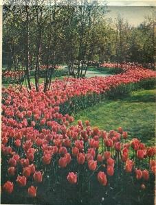 Tijdens de Flora 1953 waren in de warenhuizen en buiten talrijke nieuw gekweekte tulpensoorten te bewonderen