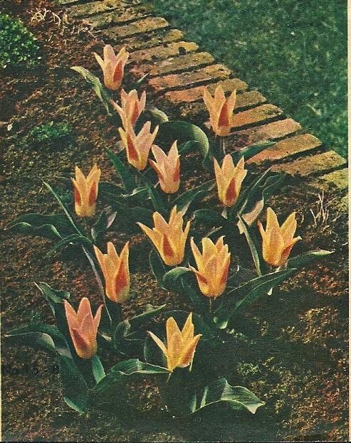 De Nederlandse kwekers hebben wonderlijke resultaten weten te bereiken. Op deze foto zien we de stoere, aristocratische Darwintulpen. De Panorama schreef een enthousiast artikel met als kop: 'FLORA 1953: sprookjesfeest van geuren en kleuren - Vijfentwintig tectare leentepracht in het wandelbos Groenendaal