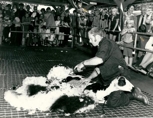 Schapen scheren op Groenendaal in de speeltuin. Hier wordt het schaap 'Vlekje' onder handen genomen.