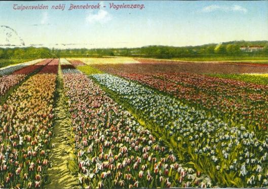 Bloeiende tulpenvelden tussen Bennebroek en Vogelenzamg