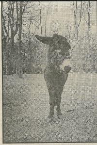 De ongelukkige ezel Clint met achterbeenblessure na terugkeer