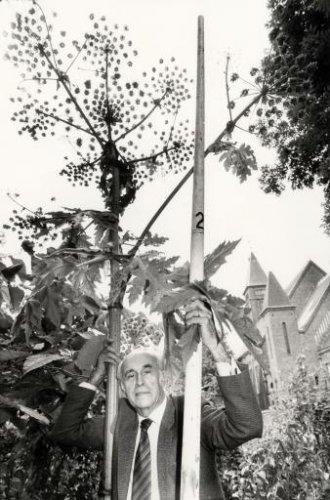 Jan Bomans bij een liefst 3,6 meter hoge Berenklauw in de tuin van 'Elba'. Op de achtergrond 'Stella Duce' aan de Herenweg in Heemstede