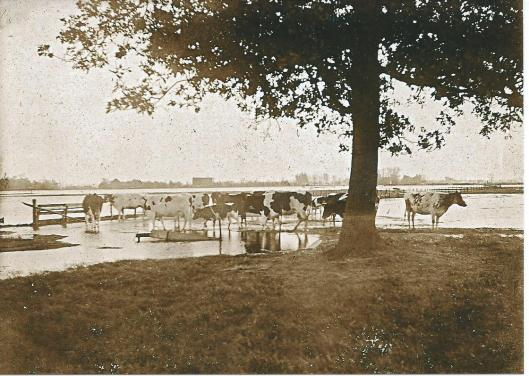 Een geliefd thema van Wilem Vester was koeien in de weiland rond 'het buiten t Clooster. Deze foto dateert uit begin 1900 toen het Spaarne buiten haar oevers was getreden.