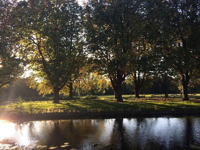 De in 1913-1914 geplante kastanjebomen aan de Vrijheidsdreef die tot teleurstelling van veel Heemsteders zullen worden gekapt (foto Ellen Toledo, 5 oktober 2015)