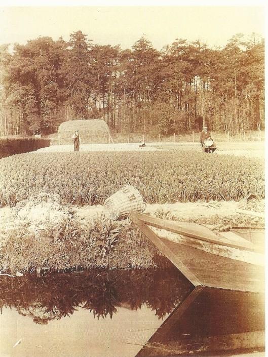 Oude foto van het bloembollenterrein van de kwekersfirma C.G.van Tubergen Jr. aan de Manpadslaan in Heemstede