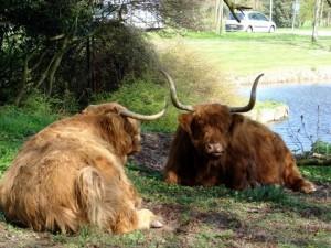 Schotse hooglanders in Groenendaal. (foto Marisca van der Eem)