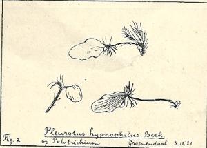 Pleurotus hypnophilus Berk. (Groenendaal, 1921)