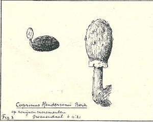 Coprinus Henesonii Berk op konijnenexcrementen (Groenendaal, 6.11.1921)