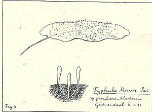 Typhula Mucor Pat. op populierenbladeren in Groenendaal, 6.1.1921