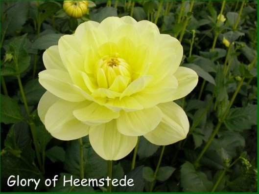 Glory of Heemstede, cultivated by Cor Geerlings