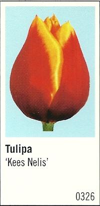 De tulp 'Kees Nelis', hier op een ansichtkaart van Art Unlimited (foto martijn Teijink) is zelfs op een postzegel van de Belgische posterijen afgebeeld.