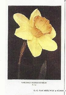 Blad met een narcis uit de catalogus van Van Meeuwen