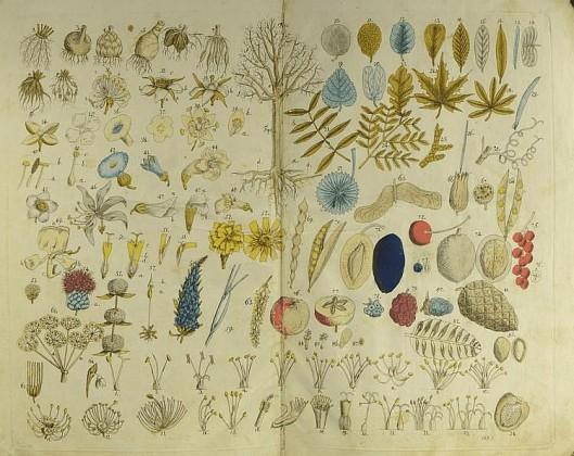 Uit: J.B.Bellermann. Abbildungen der vorzüglichen Holzarten, nebst deren Beschreibubng. Erfurt, 1788.