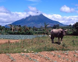Karbouw met vuurspuwende vulkaan Sibayak in de verte