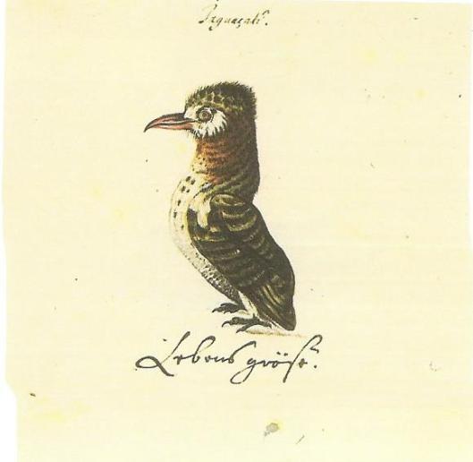 Hetzelfde Braziliaanse vogeltje, gegraveerd door Georg Marccgraf, vermoedelijk naar Frans Post